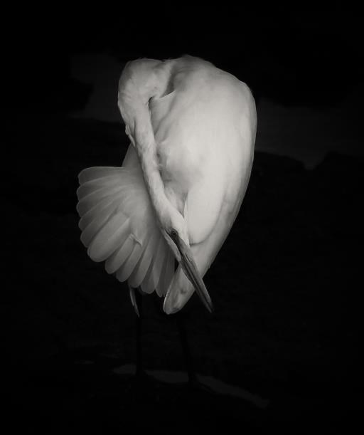 Great Egret, copyright © Timothy Healy