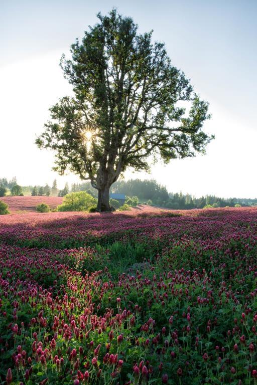 Crimson Clover and Oak, copyright © Carla Axtman