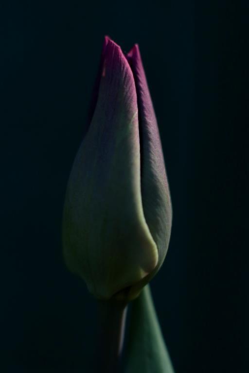 Sultry Tulip, copyright © Brent Nielsen