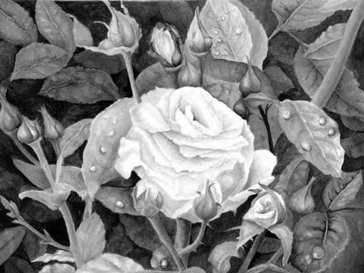 Rose In Dew, copyright © Rosalind Kane