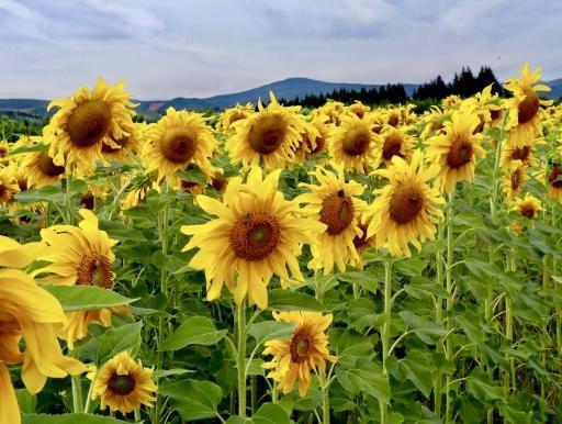 Sunflowers, copyright © Ken Reiner