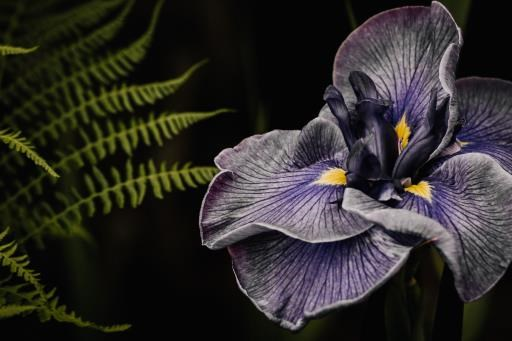 Iris Eyes, copyright © Nicole Corwin